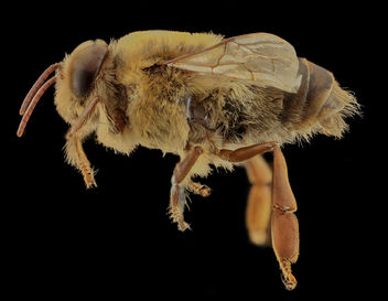 Apis mellifera, Drone, side, MD, Talbot County_2013-09-30-18.32.00 ZS PMax - Free image #282085