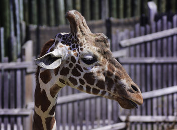 Giraffe Portait in Profile - image gratuit #282205