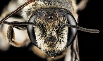 Megachile rotundata, F, Face, MD, Cecil County_2013-07-08-18.34.45 ZS PMax - бесплатный image #282225