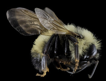 Bombus citrinus, Male, Side, Cecil County, MD_2013-11-14-08.52.58 ZS PMax - image #282635 gratis