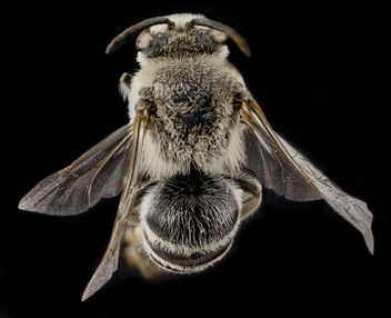 Colletes willistoni, male, back_2012-05-10-15.04.37 ZS PMax - image gratuit #282735