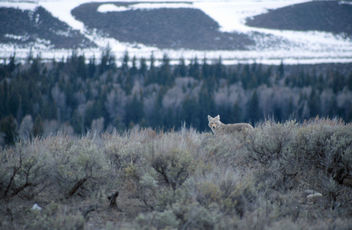 Coyote - Free image #282885