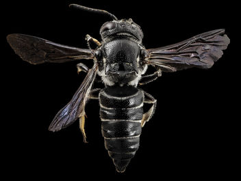 Coelioxys dolichos, f, back, md, kent county_2014-07-21-11.18.01 ZS PMax - Free image #283005