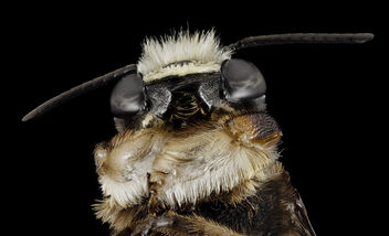 Megachile xylocopoides, m, bottom, md, kent county_2014-07-22-09.10.31 ZS PMax - бесплатный image #283015
