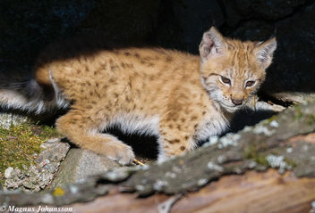 So cute Eurasian Lynx in Swedish - image #283125 gratis