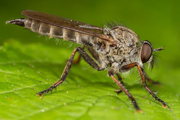 Robber Fly - Free image #283405