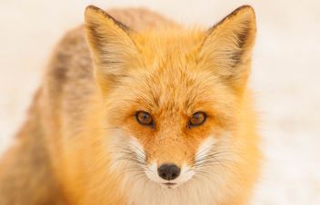 Foxes of Island Beach State Park New Jersey - Kostenloses image #283505