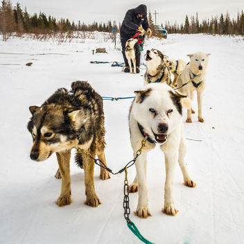 Sled Dogs - Free image #283625