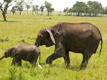 Elephants in the Mara ! - Free image #283845