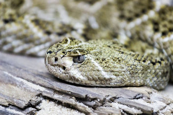 Western Diamond-back Rattlesnake at Singapore Zoo - Free image #283855