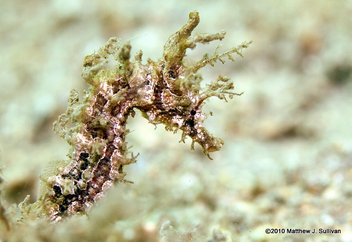 Lined Seahorse- Hippocampus erectus - Free image #284175