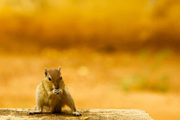 Squirrel - 2 - image gratuit #284505