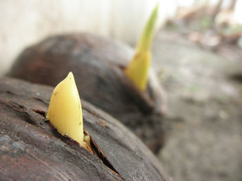 New Lives - MYD Coconut Seedlings - image gratuit #285145