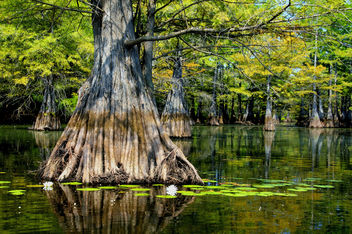 Cypress Tree and Water Lillies - image gratuit #285235