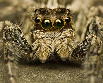 Come Closer, Jumping Spider [Salticidae] - image #285515 gratis
