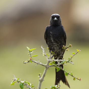 The Aggressive Black Drongo! - Free image #285915
