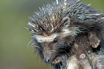 Southern African Hedgehog: Atelerix frontalis - Kostenloses image #285975