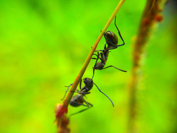 Black Ants Fighting taken using Samsung Galaxy S2 Camera + Macro Lens - image gratuit #285995