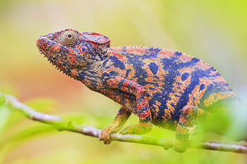 Furcifer colors - Free image #286205