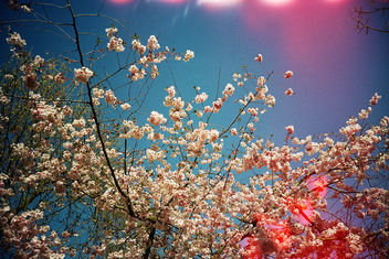 Blossom with Light Leak - Free image #286225
