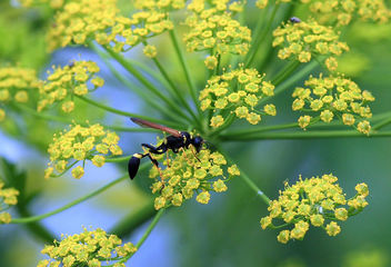 curious wasp in parsnip - Free image #286535