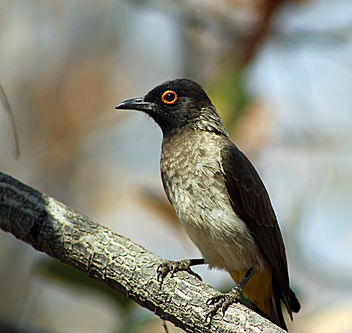 African Red-eyed Bulbul: Pycnonotus nigricans - image gratuit #286845