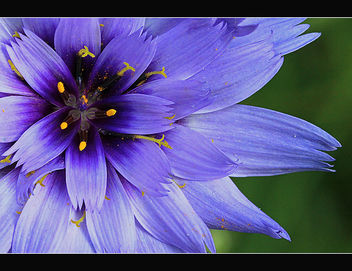 So very blue flower - image gratuit #287605