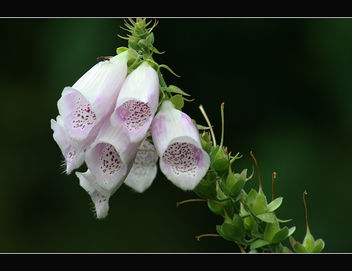 Digitalis flowers - image #287655 gratis