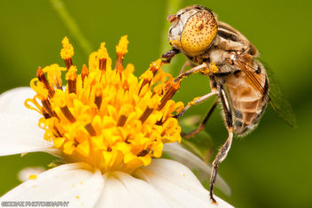 A Hungry Native Drone Fly [Eristalinus punctulatus] - image #287895 gratis