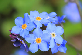 Forget-me-not with a bit orange on Kingsday. - Free image #288165