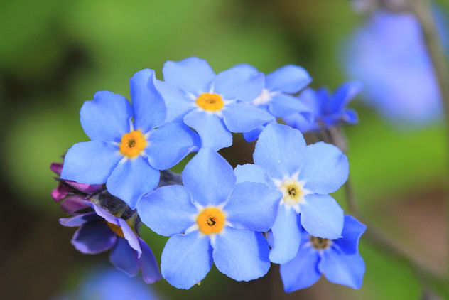 Forget-me-not with a bit orange on Kingsday. - бесплатный image #288165