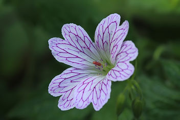 A beautiful Cranesbill - image gratuit #288415