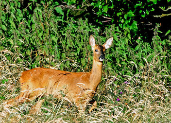 Roe Deer, Cotswolds, Gloucestershire - бесплатный image #288835