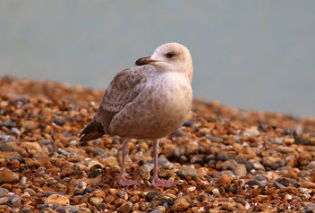 Sea gull - Free image #289255