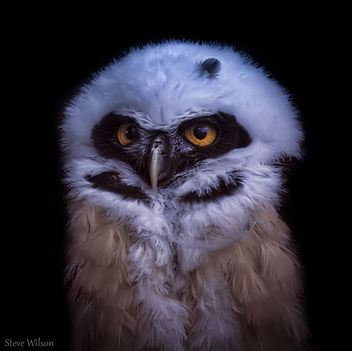 Young Spectacled Owl - бесплатный image #289635