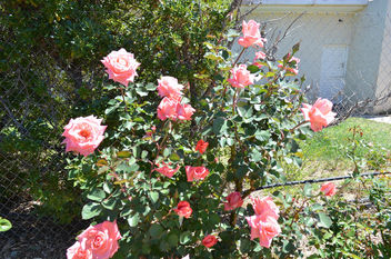 Flowers & Roses - Kostenloses image #289755