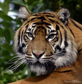 Tiger Face - Kostenloses image #290225