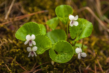 Viola Renifolia - Kidney-Leaved Violet 1 - бесплатный image #290685