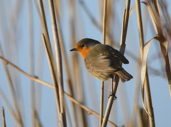 Rougegorge familier Erithacus rubecula - European Robin - image #291125 gratis