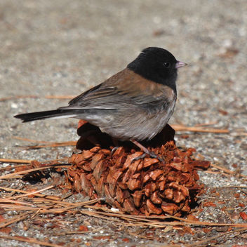 Junco on Pinecone - Free image #291435