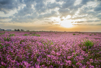 Fields of Purple Deadneetle - бесплатный image #291515
