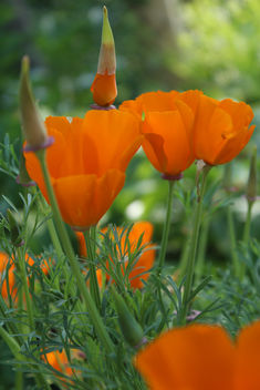 California Poppy - image #292265 gratis