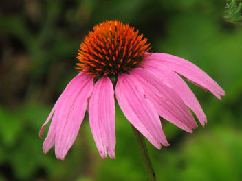 Purple coneflower - image gratuit #292725