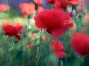 Poppy Abstract - image gratuit #293025