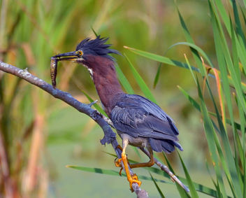Green Heron Catches Lunch - image gratuit #293265