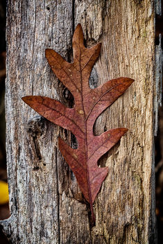 Oak Leaf on Deadwood - Free image #294575