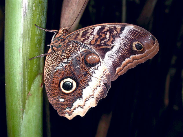 Forest Giant Owl butterfly - бесплатный image #295055