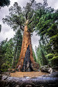 Grizzly Giant, Mariposa Grove, Yosemite national park, United States - бесплатный image #295145