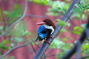 Kingfisher - Free image #295335