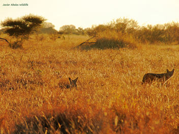 Black backed jackals at dawn in Kruger National Park; South Africa - бесплатный image #295475